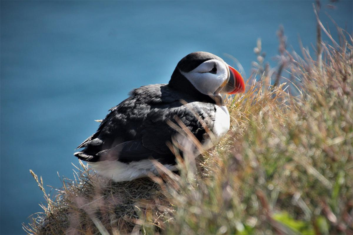 Close-up van een papegaaiduiker (puffin).